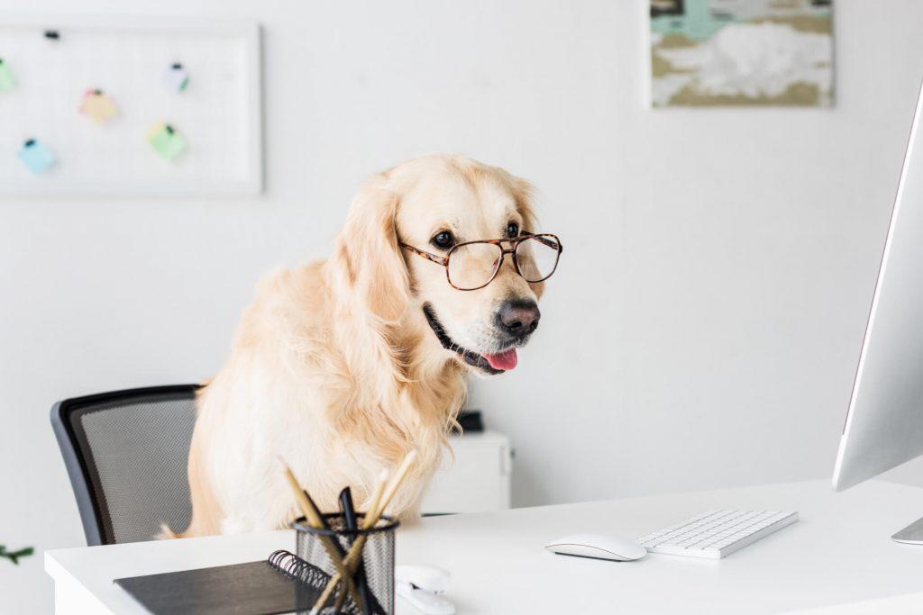 Golden Retriever sitzt auf Bürostuhl und schaut, durch eine Brille, auf einen Monitor